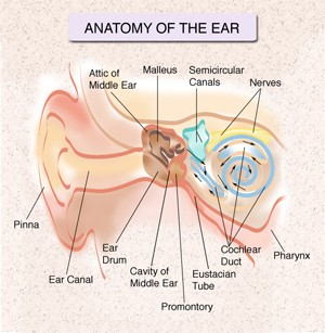 Ear and throat diagram product wiring diagrams ear nose throat specialist nyc ent doctor new york city rh nycdoctors com ear nose and throat connection diagram ear nose and throat ccuart Choice Image