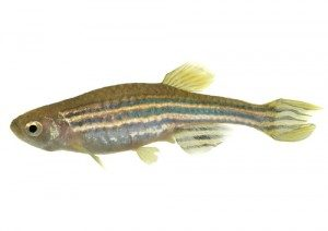 Seeing Stripes, Hearing Better: The Zebra Fish Could Change How We Treat Our Ears